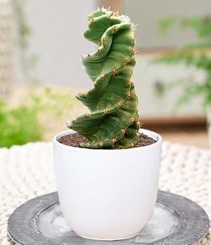 """Spiral-Kaktus """"Cereus"""",1 Pflanze"""