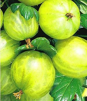 """Stachelbeer-Stamm """"Gelbe Invicta®"""",1 Stamm"""