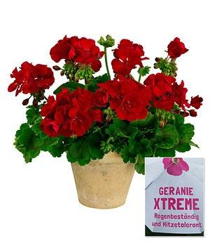 Stehende Geranie Xtreme rot,3Pflanzen