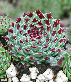 Steinrose,2 Pflanzen