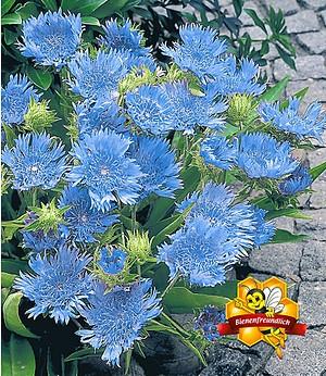 """Stokesia """"Blue Danube"""",2 Pflanzen"""