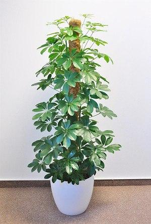 Strahlenaralie (Schefflera) Grün - Schefflera arboricola