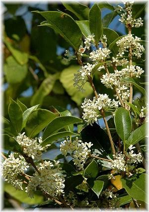 Süße Duftblüte Osmanthus fragrans