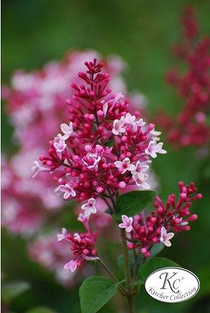 Syringa microphylla 'Superba'Dwarf Lilac