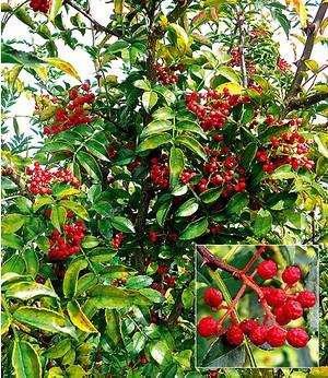 Szechuan-Pfeffer,1 Pflanze