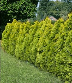 """Thuja Lebensbaum """"Golden Smaragd"""",1 Pflanze"""