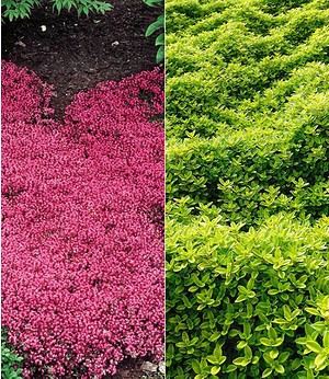 Thymian-Kollektion rot und grün,6 Pflanzen