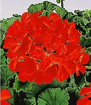 "Tiroler Hänge-Geranien ""Feuerrot"",6 Pflanzen Pelargonium peltatum"