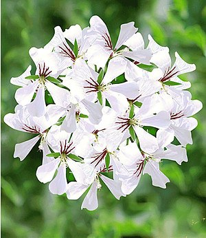 "Tiroler Hänge-Geranien ""Schneeweiß"",6 Pflanzen Pelargonium peltatum"