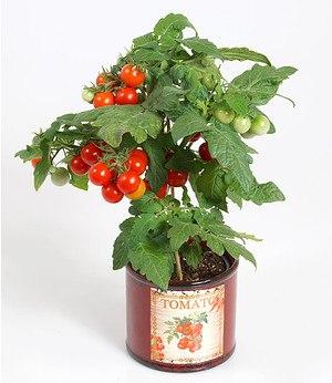 Tomatenpflanze mit Früchten 'Snack Direkt®',1 Pflanze