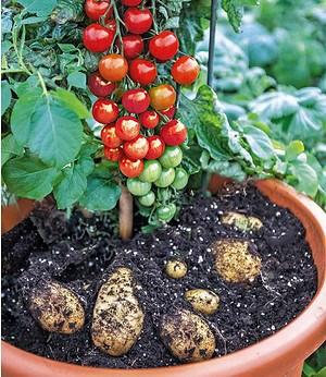 TomTato® 1 Pflanze Tomaten undKartoffeln an einer Pflanze Tomoffel