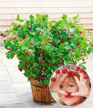 "Topf-Himbeere ""BonBonBerry® YUMMY""; 1 Pflanze"