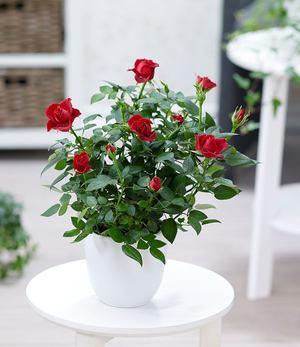 """Topfrose """"Rot"""",1 Pflanze"""