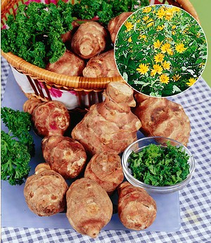 Topinambur,3 Stück Helianthustuberosus Alternative zur Kartoffel