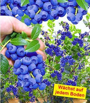 "Trauben-Heidelbeere ""Reka® Blue"",1 Pflanze"