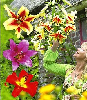 Tree-Lilies®-Kollektion,6 Knollen