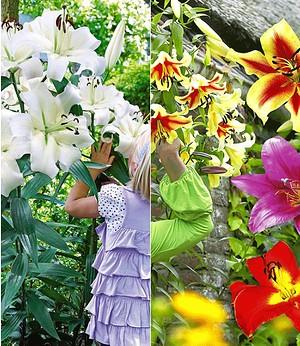 Tree-Lily®-Kollektion 4 Farben,9 Stück