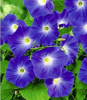"Trichterwinde ""Blue Hardy"",1 Pflanze"
