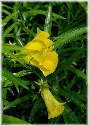 Tropischer Oleander Thevetia peruviana