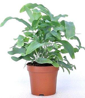 "Tüpfelfarn ""Blue Star"",1 Pflanze"