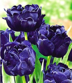 "Tulpe ""Blue Diamond"",8 Zwiebeln"