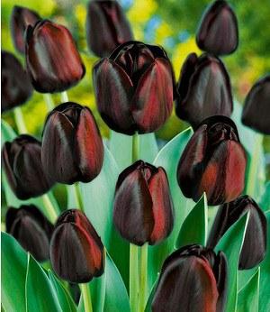 tulpen mix green chic 10 st g nstig online kaufen. Black Bedroom Furniture Sets. Home Design Ideas