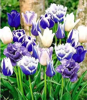 "Tulpen-Mix ""Perfect Partners®"" ""Blue Blend"",10 Zwiebeln"