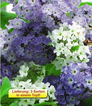 Vanille-Trio,2 Töpfe Vanilleblume Heliotropium arborescens Duftpfl.