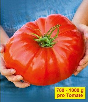 """Veredelte Fleisch-Tomate """"Gigantomo"""" F1,2 Pflanzen"""
