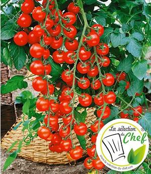 "Veredelte Kirschtomate ""Pepe""F1,2 Pflanzen Tomatenpflanze Snacktomate"
