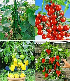 Veredelte Snack-Gemüse Kollektion,4 Pflanzen Snacktomate Lupitas
