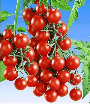 """Veredelte Snack-Tomate """"Lupitas"""" F1,2 Pfl. Tomatenpflanze Snacktomate"""