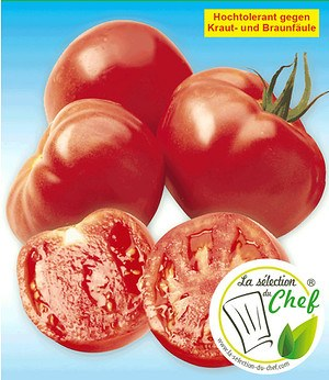 "Veredelte Stab-Tomate ""Maestria"" F1,2 Pflanzen Tomatenpflanze"