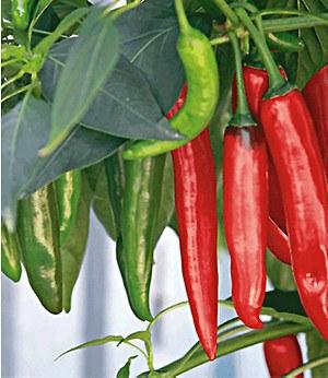 veredelter chili de cayenne 2 pflanzen chillipflanzen scharf g nstig online kaufen mein. Black Bedroom Furniture Sets. Home Design Ideas