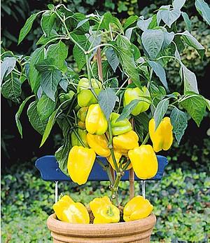 Veredelter Gelber Snack-Paprika,1 Pflanze Capsicum annum