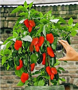 Veredelter Roter Snack-Paprika,1 Pflanze Capsicum annum