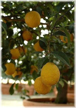 Vier-Jahreszeiten-Zitrone Citrus limon ´Lunario`