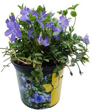 Vinca minor 'Marie' ® - Dunkelblau-violettes Immergrün