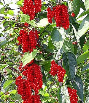 Vitafit-Beere® - Schisandra chinensis,1 Pflanze