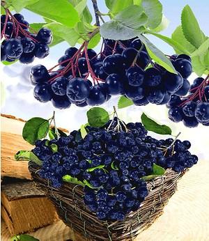 """Vitaminbeere """"Aronia Viking"""",1 Pflanze"""