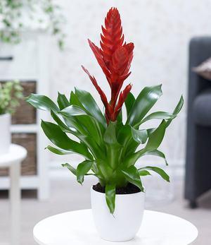 """Vriesea """"Rot"""",1 Pflanze"""