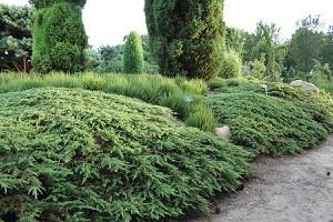 Wacholder, Grüner Kriech-Wacholder 'Green Carpet'