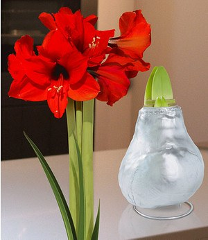 "Wachs-Amaryllis ""Touch of Gloss"" Silber,1 Zwiebel"