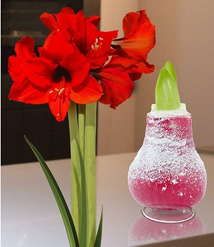 "Wachs-Amaryllis ""Touch of Snow"" Rot,1 Zwiebel"