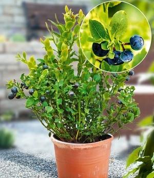 """Wald-Heidelbeere """"Blaue Waldfee"""",1 Pflanze"""