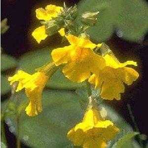 Wasserpflanze Gauklerblume
