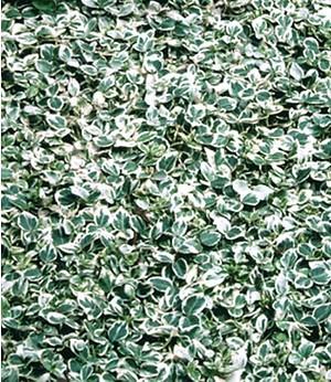 """Weißbunte Kriechspindel """"Silver Queen"""",1 Pflanze"""
