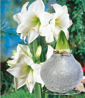 Weiße Wachs-Amaryllis Touch of Glamour Kristall-Grau,1 Zwiebel
