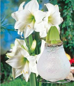Weiße Wachs-Amaryllis Touch of Glamour Kristall-Weiß,1 Zwiebel