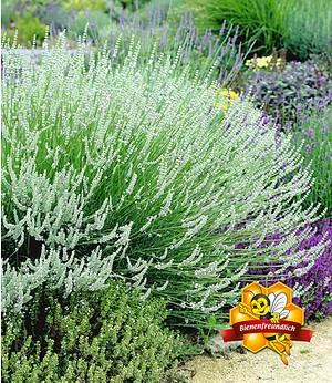 Weißer Lavendel,3 Pflanzen